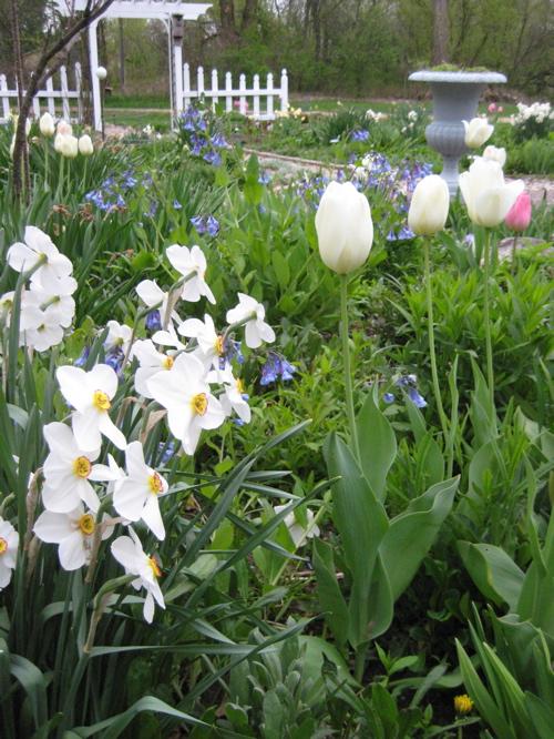 Spring_garden_tulips